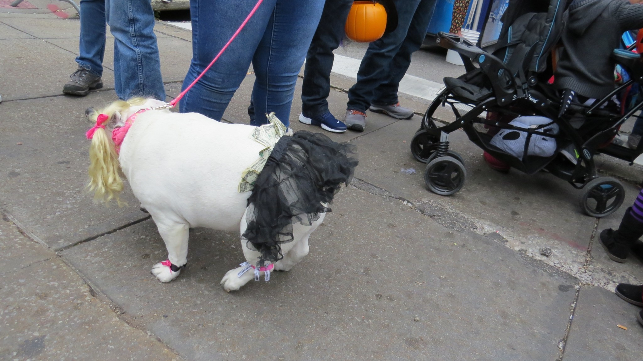 Nicki's Central West End Guide Art & Architecture CWE Pets Events, Sightings  Stray Rescue St. Louis MO Halloween Canine Costume Contest Central West End