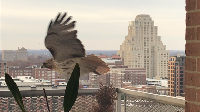Nicki's Central West End Guide Urban Gardens  St. Louis red-tailed hawk Central West End